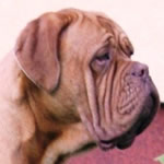 Evra, female doguedebordeaux breed