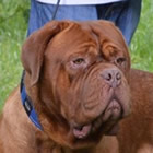 Conan, male doguedebordeaux breed